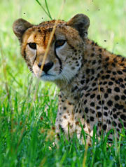 Namibia has the largest wild cheetah population in the world