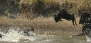 Wildebeest Migration in the Masai Mara in Kenya