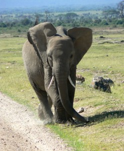 Sharing the road on the way to game drive in Chobe National Park in Botswana. It is not uncommon to have to give way!