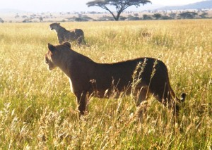 We spotted these lionesses in the late afternoon hunting in the Masai Mara National Reserve, Kenya while game viewing