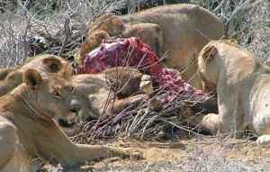 Feast for lions during the great Wildebeest Migration in the Masai Mara