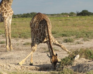 In order for a giraffe to drink they need to awkwardly spread their front legs and bend their hind legs to reach the watering hole. We watched this giraffe get into position in Naboisho conservancy in Kenya.