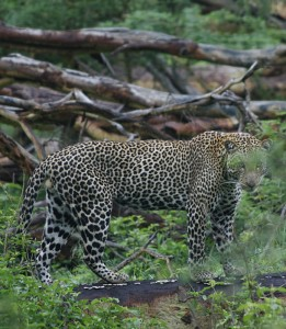 This very healthy and well fed leopard took a few minutes to check us out while game driving before disappearing into the wooded area in the Masai Mara National Reserve.