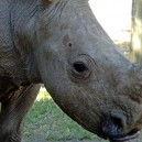 Ringo the Rhino is a great mascot for Ol Pejeta Conservancy and Africa Expedition Support