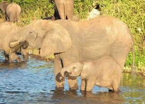 Elephants learn their life skills from their mothers, this mum is teaching her baby to drink using her trunk