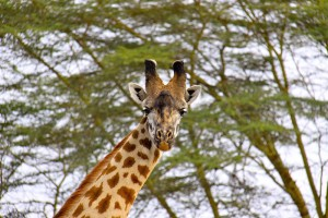 On a game drive in the Masai Mara spotting the long and the short, here is a Masai giraffe