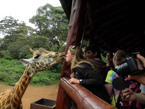 Receiving a welcome kiss from a Rothschild Giraffe at the Nairobi Giraffe Centre