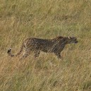 A game drive made even more exciting when we sighted this cheetah in the early morning hunting in the Masai Mara National Reserve.