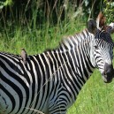 Every year over 300,000 zebra migrate from the Serengeti National park in Tanzania to the Masai Mara in Kenya.