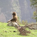 Gelada baboons are iconic of Ethiopia, superbly adapted to their environment they are unlike other baboons found in the rest of Africa. Gelada's are characterised by long woolly fur and red chests.
