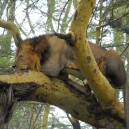 We came across this lion in Naboisho conservancy next to the Masai Mara, we were amazed he was able to sleep in this position.