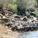 These wildebeest and zebra nervously scrutinize what is lurking in the Mara River before they decide to cross from Tanzania to Kenya during the great migration.