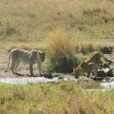 While game driving in the Masai Mara National Reserve we came across these 2 lionesses enjoying a drink in the warm afternoon sun.