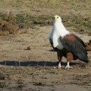 The fish eagle is an incredibly efficient hunter, we spotted this one on the shores of Lake Naivasha in Kenya