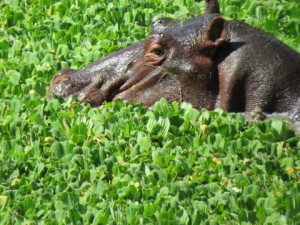 This hippos looks very content lazing in the water in the afternoon in South Luangwa National Park in Zambia