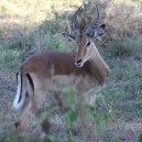 Impala's are one of the most graceful of all antelope. They are a common antelope found all over East and Southern Africa
