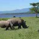 This Rhino couple in Lake Nakuru National Park will stay together for life producing a young one at most every 2 years. One of the reasons they are critically endangered