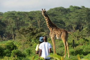 Feel very small next to these giraffes on a walking safari through Green Crater Lake Reserve in Kenya