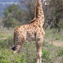 Etosha National Park is home to hundreds of African wildlife including giraffes
