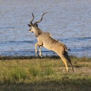 A lone eland enjoying the early morning breeze in South Luangwa National Park