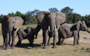 Chobe National Park in Botswana has one of the largest concentrations of Elephants in the World