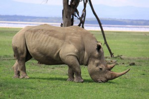 Spotting Rhino in the wild can be a bit of a challenge, that is why we visit several game parks home to these majestic animals