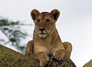A young lone lion observing the world from great heights in Lake Manyara National Park