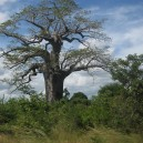 We spotted this Baobab tree in Namibia, this versatile tree is an african telephone, watering hole and snack spot!