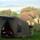 Elephants are incredibly gentle footed always going around obstacles including our Oz Tents