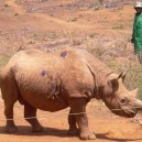 Visiting an orphaned Rhino at the David Sheldrick Elephant orphanage is always a highlight on our Cairo to Cape self drive holiday
