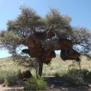 Sociable weaver nests are a common site in Namibia and Botswana. Tens of thousands of birds live in these communal nests.