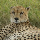 A young cheetah keeps a watchful eye over us in the Masai Mara National Reserve