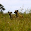 These hyenas in Amboseli National Park are using the long grass to hide as they scout for their next meal