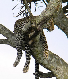 South Luangwa National Park is famous for its leopard population, look what we spotted in the tree!