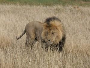 kenya lion in the savannah