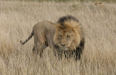 kenya lion in the savannah