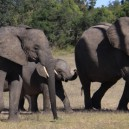 Elephants closely protect their young until they can fend for themselves as we see here in the Masai Mara National Reserve while game driving.