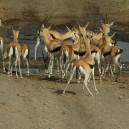 These gazelle are a little nervous crossing this waterway in Hells Gate National Park.