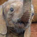 This baby orphaned elephant likes pulling funny faces to entertain visitors at the David Sheldrick Elephant orphanage in Nairobi, Kenya.