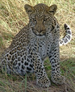 While game driving in Lake Nakuru National Park we spot this young leopard cub as he patiently waits his mothers return.