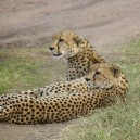 Cheetahs are sleek, streamlined and supple.