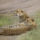 Cheetahs are sleek, streamlined and supple.