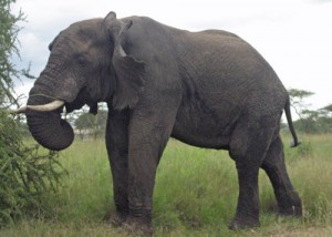 Elephants are graceful and extremely gentle creatures; we will see plenty of these beautiful creatures in the Serengeti National Park in Tanzania.