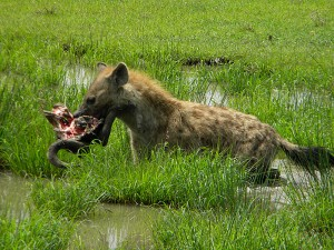 There are some great benefits to driving yourself through game parks in Africa. Often we will come across events others on regular tours miss like this hyena stealing a buffalo head from a pride of lions.