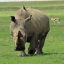 We love it when we see Rhino in the wild looking healthy and happy. It is predicted they will be extinct within 10 years unless drastic measures are taken to stop poaching.