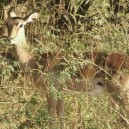 Impala are lovely antelope and we should be able to get quite close to them on our walking safari through Green Crater Lake reserve near Lake Naivasha.
