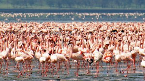 Lake Nakuru National Park in Kenya is a haven for hundreds of thousands of pink flamingos