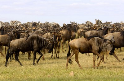 Capture the spectacle of 2 million wildebeest and zebra migrating across the Mara Plains in the Masai Mara National Reserve.