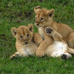 Look what we spotted on a game drive in East Africa! These lion cubs entertained us for hours.