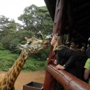 You cannot travel to East Africa on a student trip and not give a giraffe a kiss! A visit to the Nairobi Giraffe Centre is fun and educational.